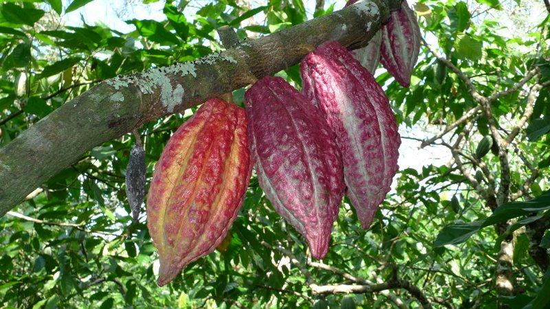 el cacao men Como una iniciativa surgida en el país, los productores de cacao de mesoamérica están empeñados en colocar ese producto entre los mejores del mundo por su calidad y la pureza del grano que cultivan.